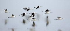 Avocets in flight over Salt Lake, Utah...6O3A4109A (dklaughman) Tags: avocet bif bird saltlakecity saltlake utah