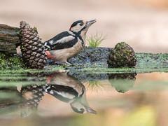 Gr B Specht spiegelbeeld-7935 (lucvereecken) Tags: glenn kalmthout bosvogels oktober