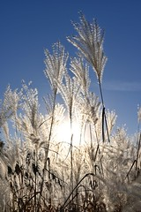 pampas grass (l i v e l t r a) Tags: pampasgrass seeds stem grass white sky blowing sunshine light z3518s f10 nikkor