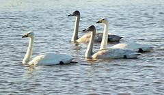Whooper Swans (merseymouse) Tags: swans whooperswan nature