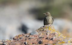 Rock Pipit (Ponty Birder) Tags: g b wheeler garywheeler pontybirder birds wales pipit