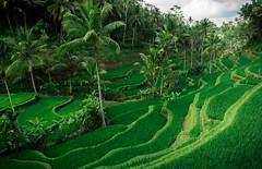 rice terraces (Artur Wala) Tags: bali indonesia nature riceterraces terraces vacation travel travelphotography amateurphotography