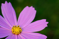 DSCF6157 (raich_foto) Tags: fujifilm fujifilmxseries fujinon fujinonlens cosmos flower nature 富士フイルム コスモス 秋桜 xpro2 xf60mm xf60mmf24
