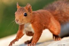 """El """"Bigotis"""" (Enllasez - Enric LLaó) Tags: ardilla esquirol vallbona mamiferos mamifers animales animals hide 2018 lleida calsolero"""