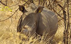 White rhino closeup (nisudapi) Tags: 2018 africa zimbabwe matobo matopos tag wildlife animal mammal rhino rhinoceros whiterhino eartag