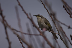 180924_Singing Honeyeater_02 (Pusher141) Tags: d750 nikon nikkor200500 pusher141 singinghoneyeater bird birds ornithology backyard sky tree