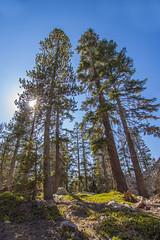 BareIslandLakeTrees1Sept1-18 (divindk) Tags: bareislandlake california maderacounty sierranationalforest backpacking camping hiking lake quiet reflection serene sunrays sunshine treetop trees