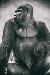 Oscar Jonesy (Thomas Hawk) Tags: animal ape bayarea california oscarjonesy sfbayarea sanfrancisco sanfranciscobayarea sanfranciscozoo usa unitedstates unitedstatesofamerica aniimal bw gorilla monkey silverback silverbackgorilla zoo us fav10 fav25 fav50 fav100
