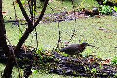 Green Heron (M. Coppola) Tags: florida lettucelakecountypark hillsborough greenheron butoridesvirescens