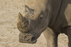 Breedlipneushoorn - Safaripark Beekse Bergen - Hilvarenbeek (Jan de Neijs Photography) Tags: dierentuin zoo tamron tamron150600 150600 dierenpark nl holland thenetherlands dieniederlande utrecht diergaarde animal dier beeksebergen neushoorn hilvarenbeek rhinocerotidae rhino safariparkbeeksebergen safaripark witteneushoorn breedlipneushoorn sbb hoorn g2 tamron150600g2