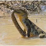 Rare Occurring - Mugger crocodile vs Russell's viper thumbnail