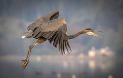 Heron (Paul Rioux) Tags: nature avian bird flight great blue heron outdoor prioux
