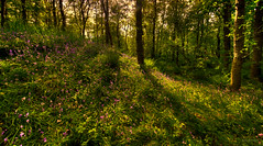 Wild flowers in the forest. (Alex-de-Haas) Tags: 11mm blackstone d850 dutch europa europe hdr hetwildrijk holland irix irix11mm irixblackstone nederland nederlands netherlands nikon nikond850 noordholland sintmaartensvlotbrug sintmaartenszee beautiful beauty bloei bloem bloemen bloom bomen boom bos flora flower flowers forest forestflowers green groen landscape landschaft landschap lente mooi nature peace peaceful plantation planten plants spring sundown sunset tree trees vredig woods woud zonsondergang nl