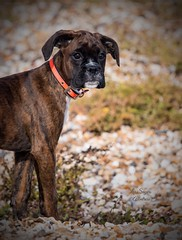 Beautiful Nova's first beach walk. (Albatross Imagery) Tags: petportraits nikonportraitphotography portraitphotography animalportraits portrait beautifulanimals like follow followme hampshire beach walking dogwalking nikkor nikonpets nikonphotography nikon cutepuppy cutest cute gorgeous beautiful ukpets uk flickrphotography flickr instagram photographer photo photography petphotographer petphotography pet dogs dog puppy boxerpuppy boxer