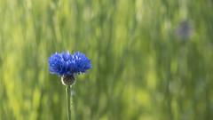 Sur le devant de la scène (Titole) Tags: cornflower nicolefaton titole blue green shallowdof