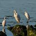 4 Snowy Egrets