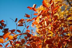 Orange leaves (Linus_west) Tags: karis billnäs karjaa pinjainen höst syksy fall autumn orange yellow gul keltainen finland suomi linus westerlund