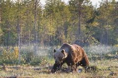 Brown bear (elbosch) Tags: zoogdier bear