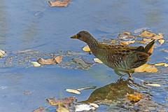 Marouette (Yves.Henchoz) Tags: nikond5 tamron150600g2 nature oiseaux sauvage suisse switzerland swiss svizzera genève genf geneva romandie