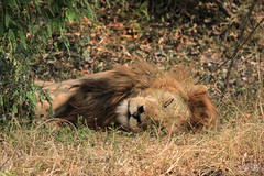 18-8-2018_Masai-Mara-6 (Mukis_trip) Tags: roja masai mara safari kenya savannah lion león king rey sleep