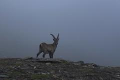Merci beau bouquetin :) (bulbocode909) Tags: valais suisse valdesdix cabanedesdix bouquetins montagnes nature brouillard rochers