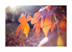 Derniers rayons (francine koeller) Tags: autumn automne leaf feuille feuillage orange colored coloré m42 tokina