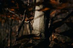 Among the Birch (davelawrence8) Tags: 2016 autumn hiking michigan nature waterloo waterloorecreationarea usa birch