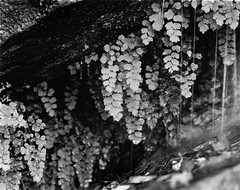 Weeping Rock (BHuij) Tags: 2 4x5 5 5d 5d2 abi bw black camera canon d dark darkroom dslr enlarger fb fiber field film format hp5 ii ilford intrepid large mark mk mkii monochrome multigrade national np paper park photography print rock room sheet view water weeping wet white zion