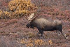 Bull in Denali (snooker2009) Tags: animal mammal nature wildlife moose male bull alaska denali