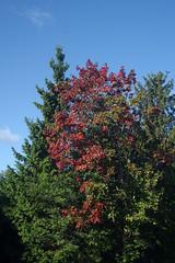 Vaher punetab (Jaan Keinaste) Tags: pentax k3 pentaxk3 eesti estonia loodus nature värviline color vaher maple mir1b2837 puu tree