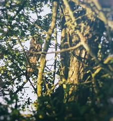 21.09.18 (Kirby_Wilson) Tags: owl longearedowl bird birdofprey sweden yelloweyes animal