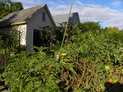 September Okra and Tomatoes (MadKnits) Tags: garden growing plants green harvest september