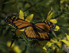 MonarchButterfly_SAF0168 (sara97) Tags: danausplexippus butterfly copyright©2018saraannefinke insect missouri monarch monarchbutterfly nature photobysaraannefinke pollinator saintlouis towergrovepark urbanpark