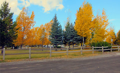 One_Of_Those_Days-sm (Guyser1) Tags: yellow westyellowstone aspens fall trees landscape fence canonpowershots95 pointandshoot