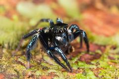 Jumping Spider (jgruber111) Tags: salticidae arachnida macro entomology spider jumpingspider laselvabiologicalstation
