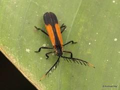 Net-winged beetle, Eurrhacus sp.? Lycidae (Ecuador Megadiverso) Tags: andreaskay beetle coleoptera ecuador lycidae mindo netwingedbeetle eurrhacus