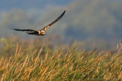 Marsh Harrier 113297 (wildlifetog) Tags: mbiow martin marsh harrier blackmore britishisles britain bird birds british brading isleofwight inflight flying flight wild wildlife nature canon england european eos7dmkii rspb