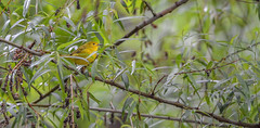 20170522-DSC_7128 (Corvid1) Tags: boggarden migratorybirds songbird yellowwarbler