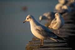 _OLY0027 (dadudawien) Tags: ostsee vögel penf