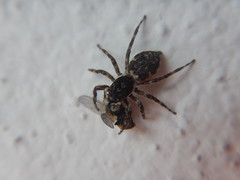 Jumping spider catches a fly (Ahmed N Yaghi) Tags: spider jumping insect fly eating eats eat feed hunts hunter hunting venom paralyze alive suck arachnids hairy hair tiny macro nikon coolpix aw120 black brown malaysia petaqling jaya small dead eyes 8 eight enjoys grab holding hold tight bites bite fangs legs abdomen