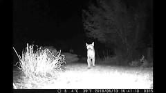 Cougar- front yard (bulldog008) Tags: carnivore cougar mountainlion mountain lion puma concolor night vision cat feline wild predator large hunter nature wildlife game cam panther forest outdoor strong fauna infrared