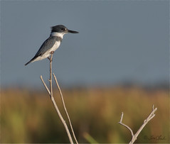 Belted Kingfisher (TomLamb47) Tags: nature wildlife bird beki belted kingfisher branch canon 1d4 100400mm