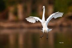 Great Egret (Mike Veltri) Tags: egret greategret birds avian flight incoming 600mm burlington ontario canada