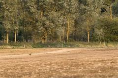 Heading home (Stickyemu) Tags: nature wildlife landscape countryside minimalism minimal pheasant field tree woods forest suffolk nikond500 nikon200500mmf56 bird green