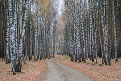 Forest Road (tranqvilizator) Tags: forest road autumn tree landscape nature foliage