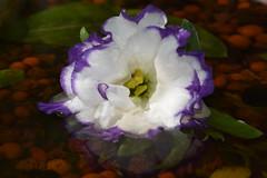 DSC_2890 (griecocathy) Tags: macro fleur feuille eau reflet bille argile coeur blanc violet jaune vert oranger marron