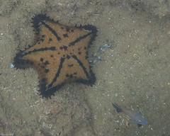 Chocolate Chip Starfish [Nidorellia armata] (Fred Roe) Tags: olympustg5 nature wildlife starfish underwater chocolatechipstarfish nidorelliaarmata