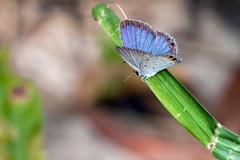 Pale Blue, Pt. 2 - _TNY_3435 (Calle Söderberg) Tags: macro canon canoneos5dmarkii canon5dmkii canonef100mmf28usmmacro 5d2 canon5dmarkii flash meike mk300 glassdiffusor vietnam phuquoc leipidoptera blue gramblue euchrysops cnejus insect butterfly fjäril lycaenidae polyommatini blåvinge straw grass spots orange f11
