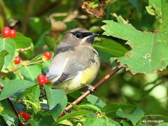 Cedar Waxwing (Lois McNaught) Tags: cedarwaxwing bird avian nature wildlife hamilton ontario canada