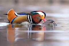 The season of love (Mary Bassani) Tags: mandarina anatra duck pato anatide racconigi piemonte italia nature mandarinete colors nikon animalplanet animal ngc bird water